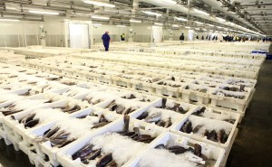 Peterhead is Europe's largest white fish market